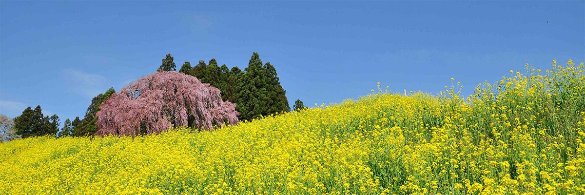 2012「春」優秀賞作品 桜の丘の画像