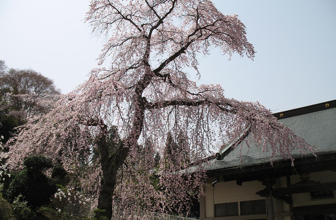 顕法寺の桜