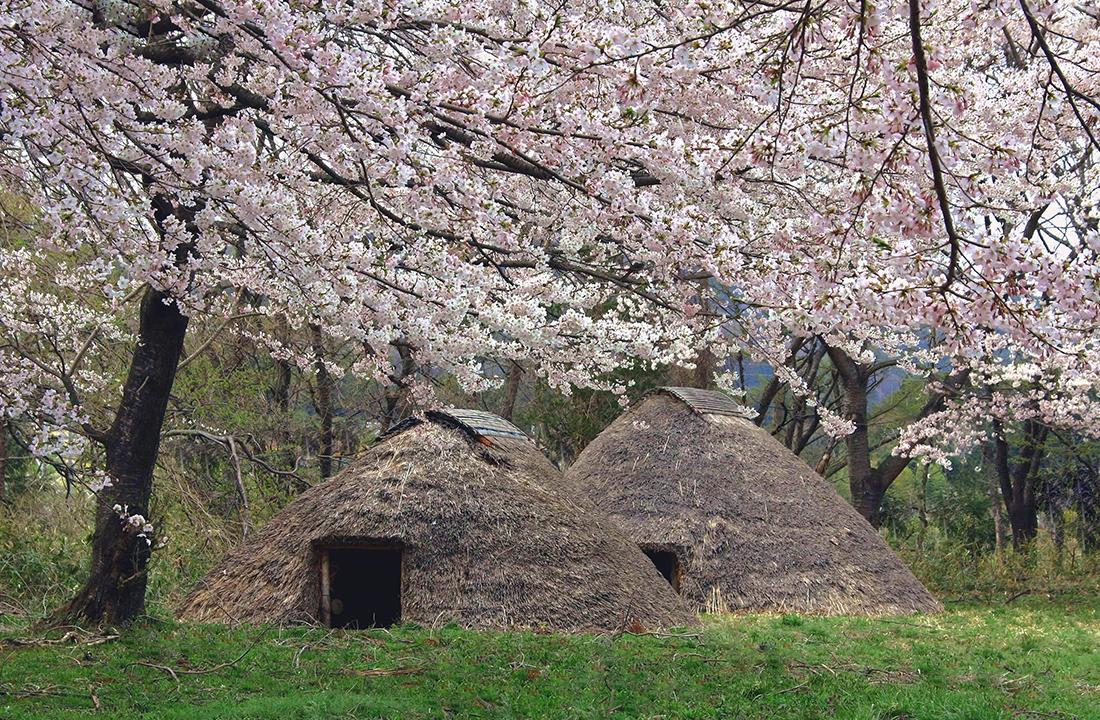 上原遺跡の桜