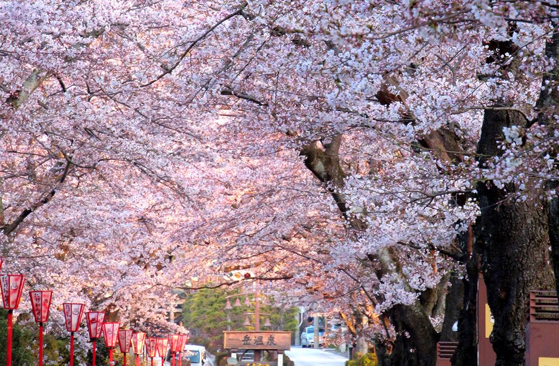 岳温泉桜坂の桜