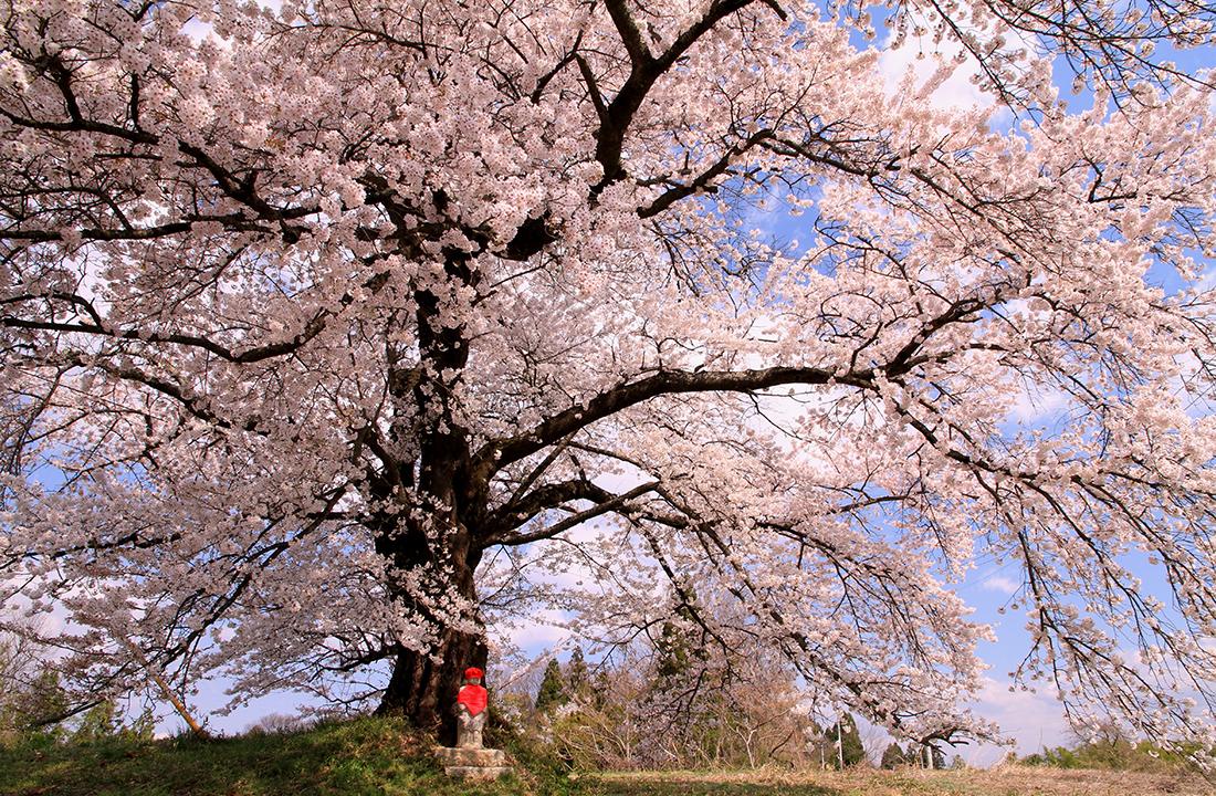 日向の人待地蔵桜